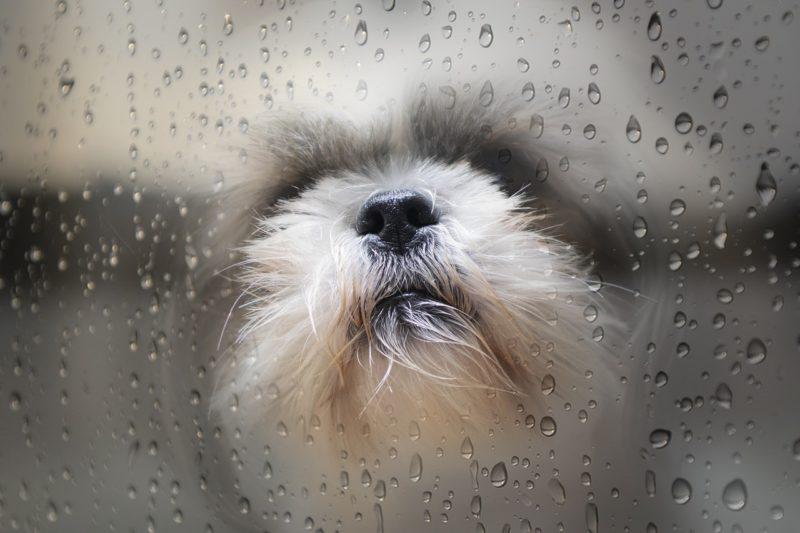 ガラスのむこうから飼い主を見る子犬