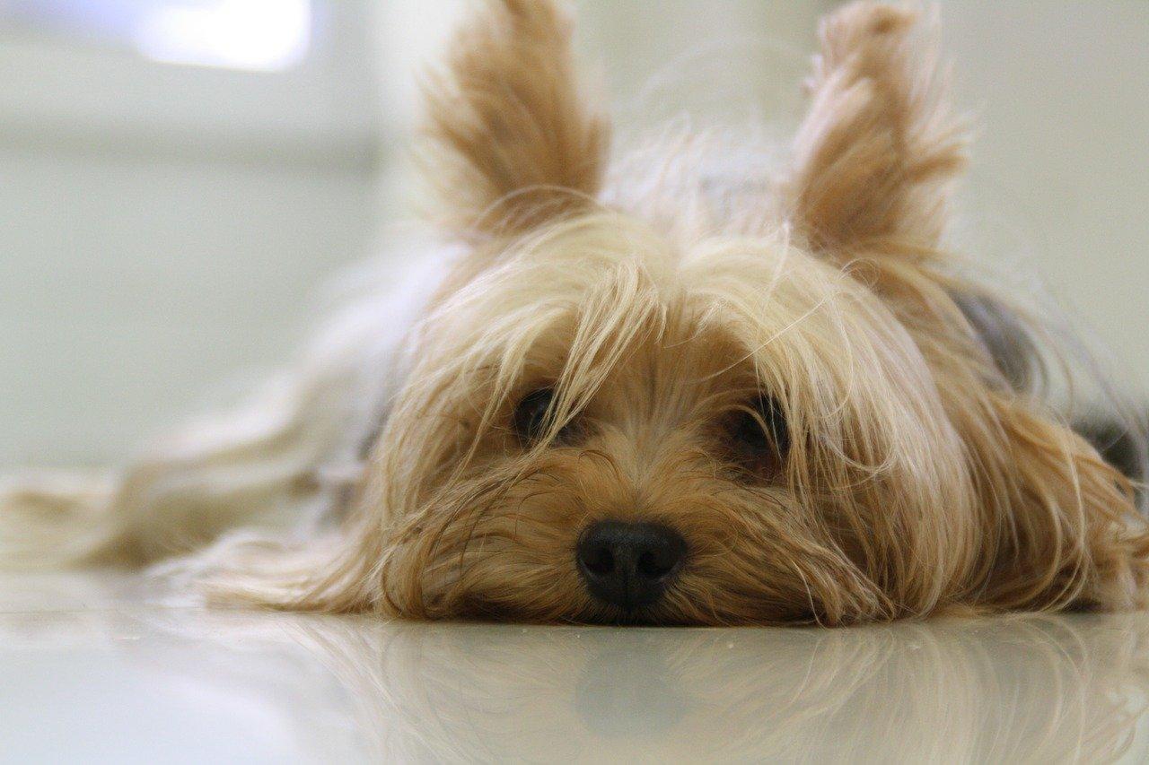 可愛らしく耳をたてる子犬